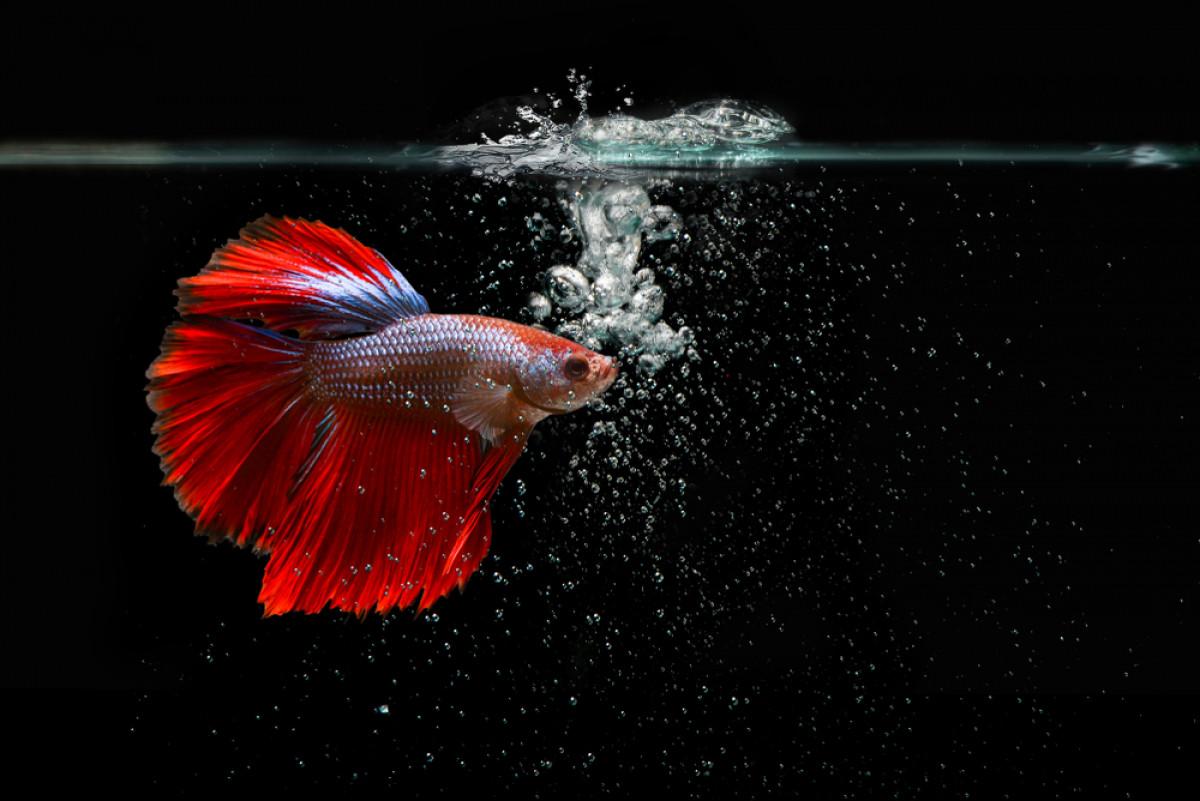Demam Ikan Cupang