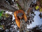 Orangutan Kalimantan Panjat Pohon Berusia Ribuan Tahun