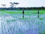 PERTANIAN: Petani di wilayah Desa Belanti Siam, Gadabung dan Pantik Kecamatan Pandih Batu saat ini mengalami kesulitan mendapatkan pupuk bersubsidi
