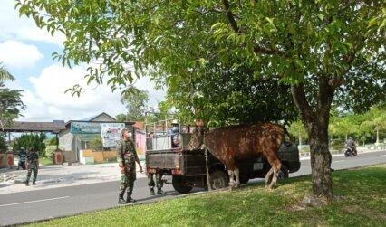 TERLEPAS : Anggota Kodim 1016 Palangka Raya bantu warga amankan sapi kurban yang terlepas di bilangan Jalan Yos Sudarso, Selasa (20/7/2021) KODIM 1016/PLK UNTUK KALTENG.CO