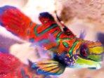Ikan mandarin termasuk spesies biota laut yang berukuran mini