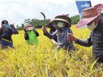 PANEN: Bupati Barito Timur Ampera AY Mebas bersama petani menuai padi masa tanam April - September 2021, Kamis (14/10).